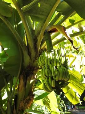 A banana tree...