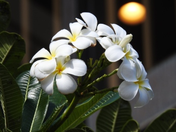 Plumeria, my favorite, and used to make leis