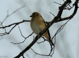 This goldfinch as out looking at what we both hoped was our last snowfall of the winter!