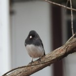 I love to watch the juncoes all winter...they will be leaving soon.
