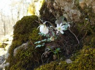 Hepatica breaking out of the rock of the bluff