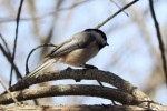 Black-capped Chickadees are funny, quick darting little birds that love to crawl upside down all over the trees in the yard!