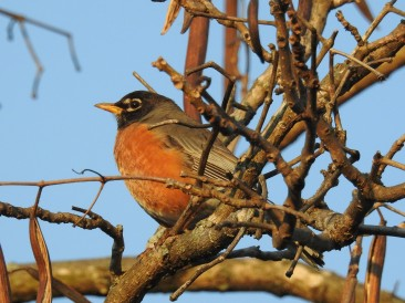 "American Robin...he does not eat at the feeder, but his song just sings ""spring"""
