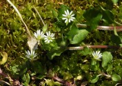 Chickweed...I know it is a weed, but I love it anyway.