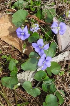 Common violet
