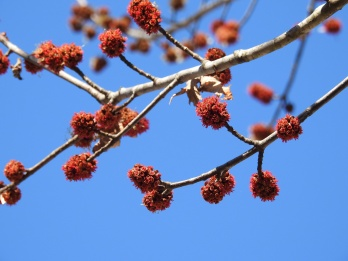 The maple trees are beginning to bloom...