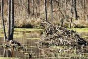 The beavers and the turtles are active