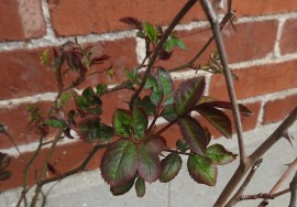 Our rosebush is anxious to get going...
