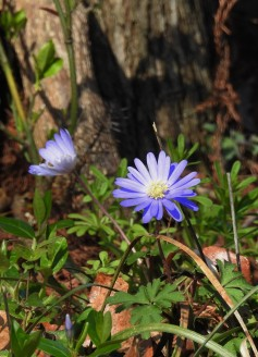A spring Aster